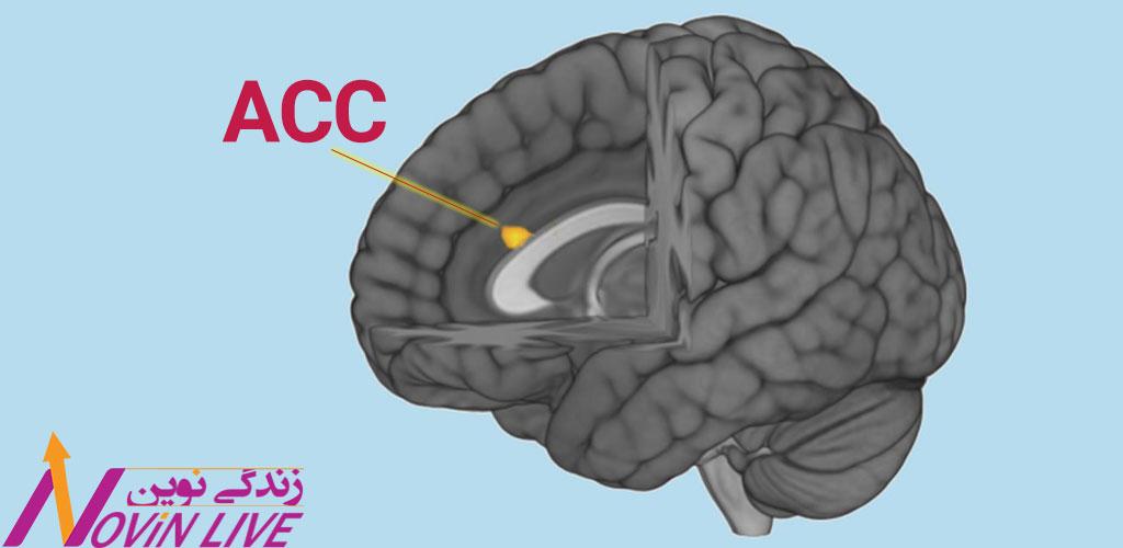 ناحیهٔ سینگولای قدامی مغز، قسمت رنگین شده به نام -آناتومی تصمیم گیری خرید مغز-نورومارکتینگ ACC